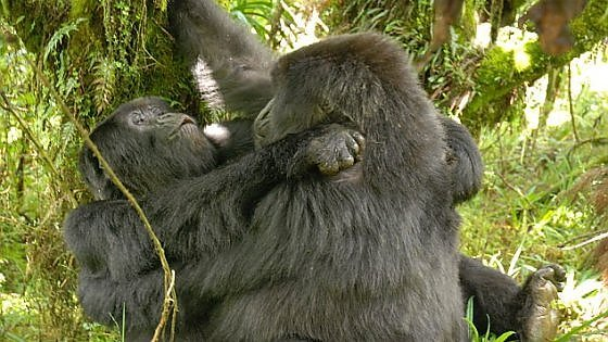Anche i gorilla conoscono i piaceri dell'amore saffico