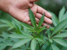 Microsoft investe nella marijuana: software per distribuzione legale