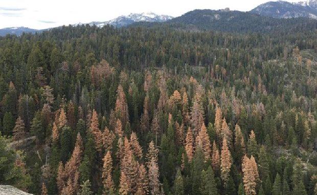 California, mortalità record di foreste per la siccità