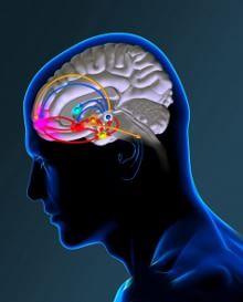 Una ricompensa per l'effetto placebo Schema del sistema cerebrale della ricompensa.
