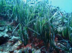 Baleari, la foresta sottomarina di posidonia rischia di scomparire