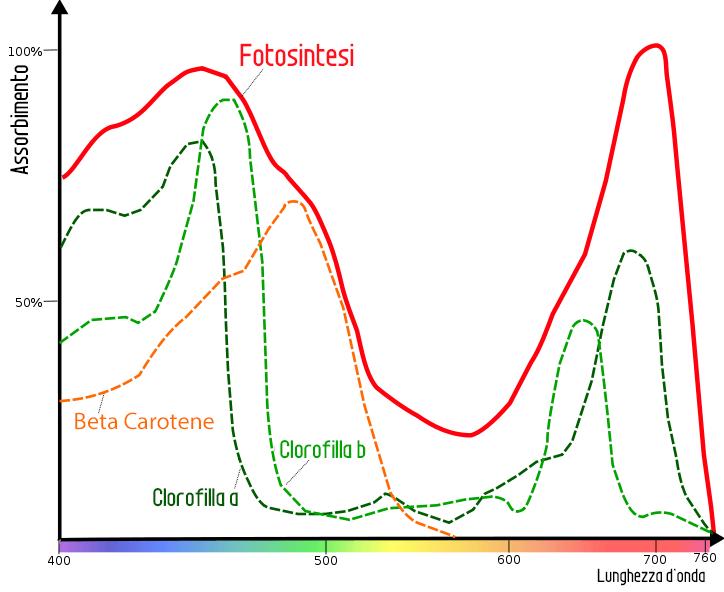Lo spettro di assorbimento della luce da parte della clorofilla e dei pigmenti accessori. Come si vede, la luce verde è molto poco assorbita, ed è invece riflessa, motivo per cui le foglie e i fusti appaiono tipicamente verdi.