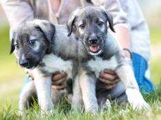 Gemelli identici, primo caso confermato tra i cani - Focus.it