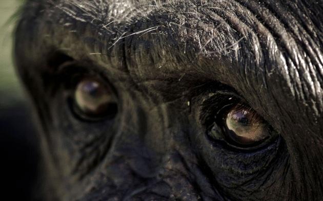 La capacità di intuire azioni altrui non è una nostra esclusiva: la condividiamo con altri primati.