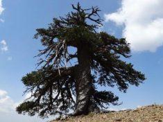 Ha 1075 anni l'essere vivente più antico d'Europa, ed è un pino.|Dr. Oliver Konter, Mainz