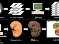 Lo sviluppo dell'embrione mai visto così: il primo atlante digitale in 3D