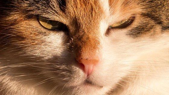 Aviaria, un primo caso di trasmissione da gatto a uomo