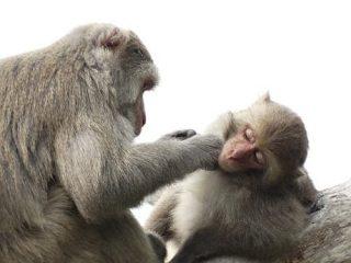 Macachi: il cervello di questi primati è il modello più vicino al cervello umano. (CC0 Public Domain)