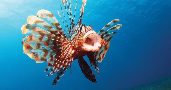 Fate attenzione al pesce scorpione, avvistato in Italia, può uccidervi