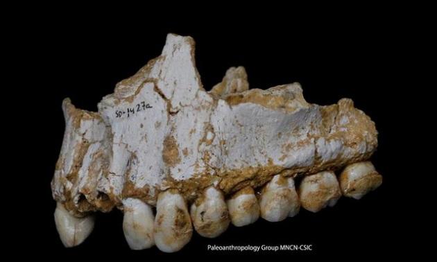 L'analisi di questo reperto ha rivelato tracce della masticazione di foglie di pioppo (fonte di acido acetilsalicilico) e muffe fonti di penicillina. PALEOANTHROPOLOGY GROUP MNCN-CSIC