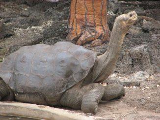 Il grande ideale di Diego la tartaruga, salvare la specie