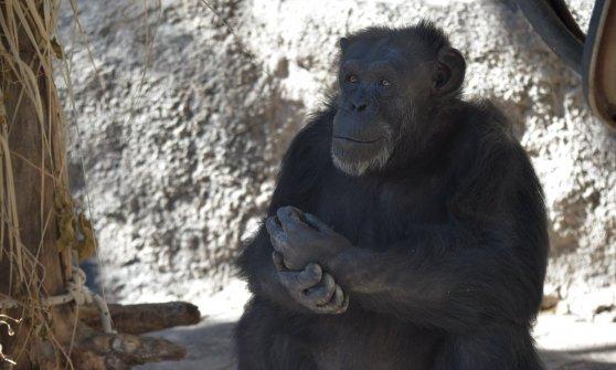 Un Tribunale Argentino riconosce alla scimpanzé Cecilia i diritti dell'Uomo