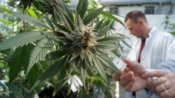 La cannabis terapeutica, non solo droga e non si fuma