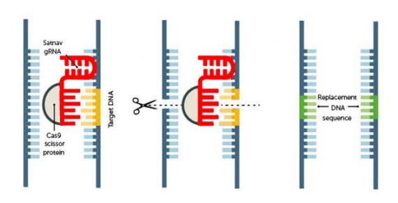 """Una sequenza di Rna guida la proteina Cas9 (le """"forbici"""") al sito del Dna dove lo sperimentatore intende tagliare e/o modificare un gene.   CHEMISTRY WORLD / THE ROYAL SOCIETY OF CHEMISTRY"""