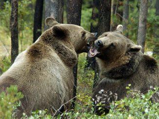 Greenpeace dovrà pagare 200 milioni se perde la causa per le foreste boreali