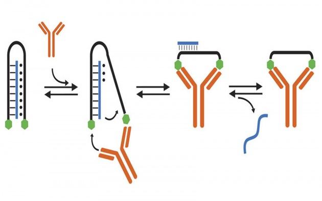 Il filamento di Dna (in nero) agganciato a due antigeni (gli esagoni verdi) trasporta un filamento di acidi nucleici (un ipotetico farmaco, in blu): l'insieme è analogo ai due bracci di un morsetto. L'influenza esercitata sugli antigeni da una macromolecola bivalente (un anticorpo, in arancione) provoca una deformazione del sistema che ne riduce la stabilità e porta al rilascio del materiale trasportato.|FRANCESCO RICCI ET AL.