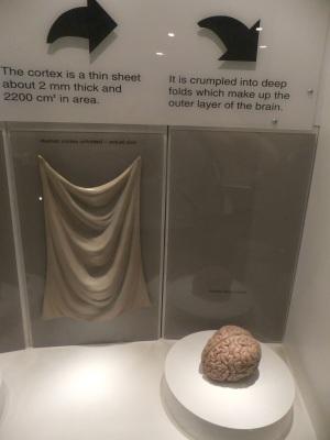 """Se la corteccia cerebrale si potesse """"stendere"""", ecco che superficie avrebbe: 2.200 cm quadrati di pellicola sottile 2 millimetri."""