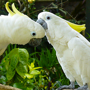 Il cacatua attira le femmine con un assolo di batteria