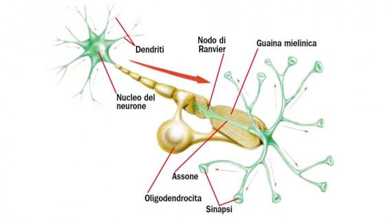 La struttura del neurone. Un neurone, rivestito dalla guaina mielinica (fatta di cellule di Schwann e oligodendrociti). Il segnale va dai dendriti all'assone ed esce dalle sinapsi.