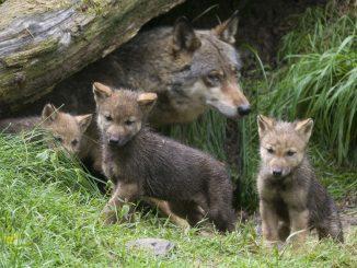 Uccisi da un predatore i cuccioli di lupo trovati morti in Abruzzo