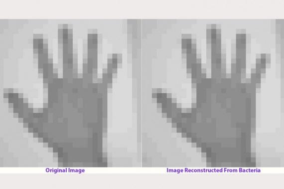 L'immagine della mano in originale, così come è stata affidata ai batteri, e (a destra) quella ricostruita pixel per pixel, con i dati restituiti dalle generazioni successive.| SETH SHIPMAN