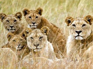 Il WorldLionDay per proteggere una specie a rischio estinzione