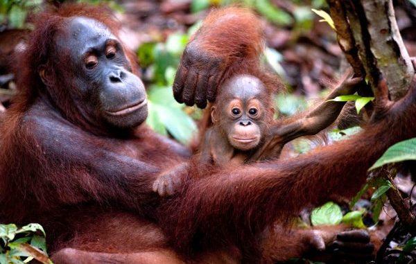 Le piantagioni di olio di palma mettono a rischio la vita degli oranghi
