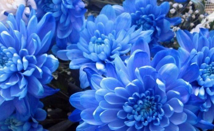 Crisantemo blu modificato geneticamente in Giappone
