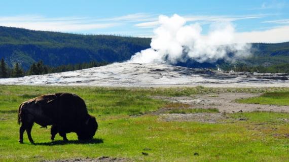 Un bisonte e, sullo sfondo, uno dei più celebri geyser di Yellowstone, l'Old Faithful.| SHUTTERSTOCK