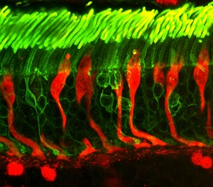 Immagine al microscopio di coni (in rosso) e bastoncelli (in verde) nella retina umana. | NATIONAL EYE INSTITUTE, FLICKR