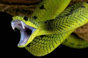 animali velenosi, veleno, pungiglioni, serpenti, scorpioni, ricci di mare, vespe, meduse