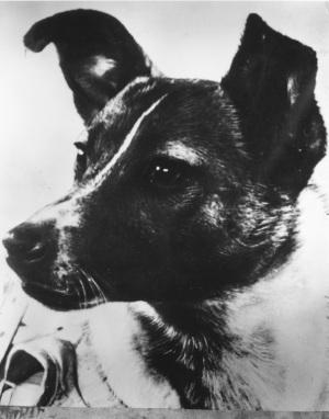 Femmina (per risparmiare spazio) e fotogenica (per la propaganda): Laika, prima eroina spaziale dell'URSS, sacrificata nella frenesia della Corsa allo Spazio.