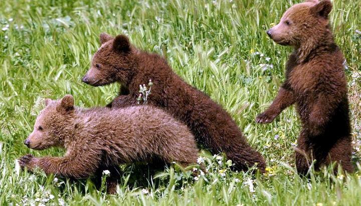 La cicogna orso porta 12 cuccioli al Parco Nazionale
