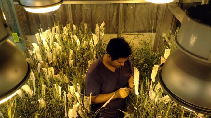 Speed breeding e DNA modificato per la fame nel mondo