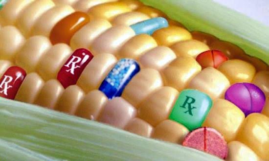 Dopo anni, quanto è sicuro mangiare mais OGM?