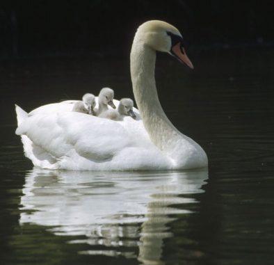 Se il maschio di cigno reale (Cygnus olor) ha la fama di compagno fedele (con le dovute eccezioni…), non si dimentichi il ruolo attivo che esercita nella cura della prole. Collabora attivamente nella costruzione del nido. Segue l'incubazione delle uova, covandole in alternanza con la femmina o rimanendo a guardia del nido. All'inizio della schiusa poi accompagna in acqua i primi nati, mentre la femmina continua a covare le uova non ancora pronte. I pulcini non si staccano dai genitori e il loro mezzo di trasporto preferito è proprio il loro dorso. Con la nuova stagione degli amori però mamma e papà allontanano i piccoli dal nido e si preoccupano di altre faccende...