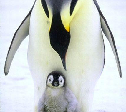 """Letteralmente lì - ai piedi del suo compagno - la femmina di pinguino imperatore (Aptenodytes forsteri) lascia il suo unico uovo appena deposto. Il maschio rimane per circa 65 giorni stoicamente in balia dei venti e senza toccare cibo tenendo l'uovo al caldo in una sorta di """"tasca incubatrice"""" e impedendone così il contatto con la superficie ghiacciata della banchisa dell'Antartide. I maschi con le rispettive uova si riuniscono in gruppi affollati per ripararsi al meglio dai venti polari. Quando l'uovo si dischiude, è la madre che torna ad occuparsi del pulcino: e mentre il maschio si eclissa alla ricerca dell'agognato cibo, la femmina tiene a sua volta al caldo il piccolo nella sua tasca."""
