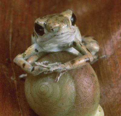 Questa piccola rana velenosa (Dendrobates umilio), che può assumere i colori più vivaci e che vive nelle foreste del Costa Rica, ha stupito da sempre i ricercatori per il grado evoluto delle loro cure parentali. Padre e madre insieme si occupano delle uova facendo in modo che rimangano sempre umide. È poi la madre a prendersi cura dei girini, caricandoseli in groppa e portandoli nelle piccole piscine d'acqua formate dalle bromeliacee, piante a forma di coppa. I figli sono sistemati in calici diversi per evitare che si mangino l'uno con l'altro e ognuno di loro è fornito di un uovo non fecondato che si serve come nutrimento visto che è fonte preziosa di proteine e zuccheri.