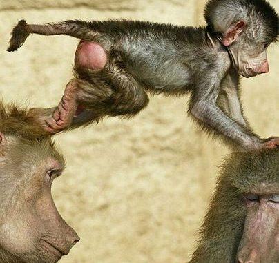 """I piccoli di babbuino (Papio sp.) rimangono appiccicati alle madri che li accudiscono, li nutrono, li spulciano e li incoraggiano durante gli scontri giocosi che hanno coi loro coetanei. Fino a un anno d'età non si allontano dalla madre neppure per dormire. Anche i maschi qualche volta li portano con sé, ma per scopi ben poco """"nobili"""". Quando si sentono minacciati da qualche altro adulto, infatti, usano i cuccioli come scudo. Se un piccolo viene toccato, bisogna vedersela con la mamma e tutta la sua famiglia. così l'aggressore ci pensa bene prima di sferrare un attacco che possa coinvolgere un piccolo (e tutta la sua tribù)."""