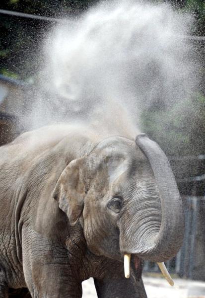 Un elefante selvatico si automedica fumando carbone