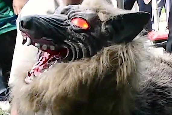 Combattere i cinghiali nei campi con un lupo robot