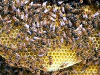 Gli sciami di api sono come un superorganismo