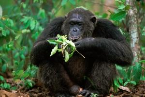 Gli scimpanzé hanno imparato ad apprezzare le doti curative di alcune piante e le sfruttano regolarmente. Vedi anche:le più curiose forme di automedicazione tra primati.| ANUP SHAH/NATURE PICTURE LIBRARY/CONTRASTO