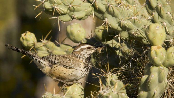 """Quando si tratta di costruire il nido, per lo scricciolo dei cactus (Campylorhynchus brunneicapillus) la questione si fa… spinosa. Per difendersi meglio dai predatori, l'astuto pennuto si è abituato a nidificare non proprio sul """"morbido"""", ma sui cactus e gli arbusti spinosi delle regioni aride degli Stati Uniti sud-occidentali, dove vive. Forse ci rimetterà un po' in confort, ma senza dubbio ci guadagna in sicurezza! E come se non bastasse, per depistare i nemici più tenaci, - come alcune specie di serpenti - durante il periodo della cova il maschio costruisce alcuni nidi secondari, che gli scriccioli utilizzeranno per le nidiate successive o come semplici luoghi di riposo."""