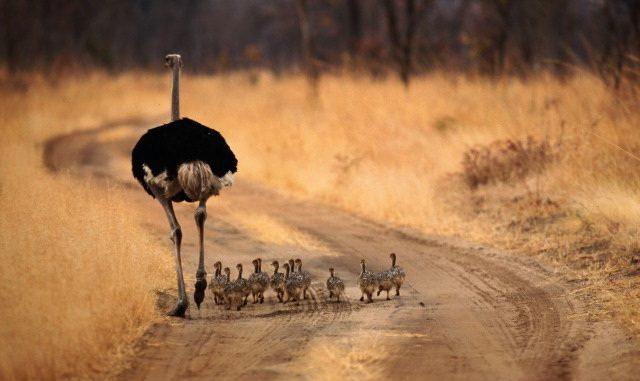 Questo struzzo (Struthio camelus) festeggia portando a spasso i suoi pulcini per la savana africana. Finalmente un po' di relax dopo settimane di tensione. Già perché il periodo della cova è un vero stress per il povero pennuto, che per non lasciare il nido in balia dei predatori, di notte veglia sulle uova, nascondendole sotto le lunghe piume nere. E tutto mentre mamma struzzo ronfa! Le femmine infatti covano di giorno, quando il loro piumaggio grigiastro - più chiaro di quello dei partner - si mimetizza perfettamente nella sabbia