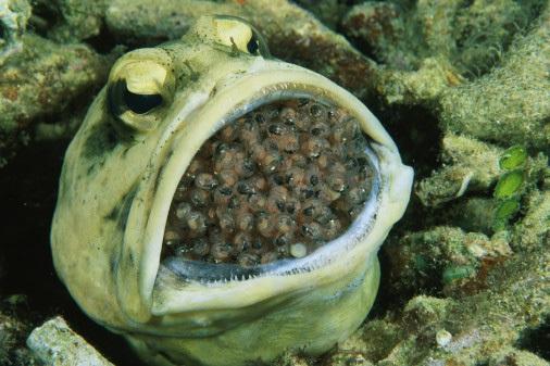 """Non c'è pesciolina in età da marito che non sogni di accasarsi con lui. Il jawfish (in inglese """"pesce mascella""""), come tutti i maschi della sua famiglia - quella degli Opistognathidae - è un perfetto """"uomo di casa"""". Tanto per cominciare, si prende cura dei nascituri, covando le uova nella sua grande bocca (vedi foto) fino al momento della schiusa. Il mascellone paterno rimane un rifugio sicuro per i piccoli anche dopo la nascita, in caso di attacco dei predatori. Tra una covata e l'altra, poi, questo padre modello si occupa dei lavori di casa. Con le sue fauci robuste scava dei cunicoli sui fondali di Atlantico e Pacifico, dove vive, e al primo sentore di pericolo vi si rifugia con tutta la sua famiglia."""