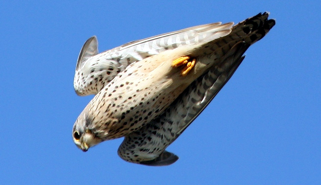 La caccia mineraria del falco pellegrino si sta avverando