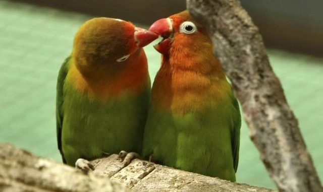 """Quando s'innamorano, è per sempre. I pappagalli inseparabili (gen. Agapornis) sono dei gran romanticoni. I maschi una volta scelta una partner non la mollano più riempiendola di tenere beccatine e altre dolci effusioni. Le femmine dal canto loro sembrano gradire, per nulla intimidite da avances così focose. Ogni coppia, che sta insieme per tutta la vita, può arrivare ad avere anche 20 pulcini. Nella foto due """"fidanzatini"""" paparazzati a Riyadh in Arabia Saudita."""