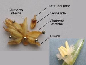 Sezione di spiga di Triticum aestivum e, in basso a destra, il fiore del frumento. | Aelwyn/WikiMedia, University of British Columbia