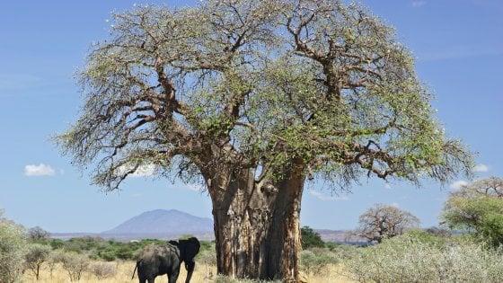 Un baobab in Tanzania, Africa (foto: Ferdinand Reus [CC BY-SA 2.0], via Wikimedia Commons)